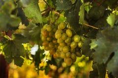 Rijpe druiven in de tuin Stock Fotografie