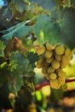 Rijpe druiven in de tuin Royalty-vrije Stock Afbeelding