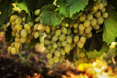 Rijpe druiven in de tuin Stock Foto