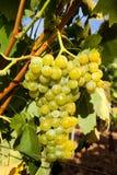 Rijpe druiven die op de wijnstok hangen Stock Foto's