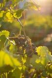 Rijpe druiven in een oude wijngaard in het winegrowing van Toscanië gebied Stock Foto