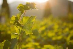 Rijpe druiven in een oude wijngaard in het winegrowing van Toscanië gebied Royalty-vrije Stock Foto's