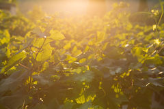 Rijpe druiven in een oude wijngaard in het winegrowing van Toscanië gebied Royalty-vrije Stock Fotografie