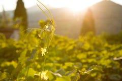 Rijpe druiven in een oude wijngaard in het winegrowing van Toscanië gebied, Italië Stock Fotografie