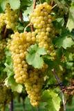 Rijpe druiven in een wijngaard royalty-vrije stock fotografie
