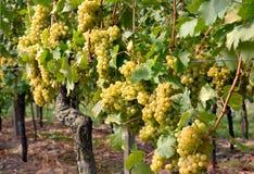 Rijpe druiven in een wijngaard Stock Foto