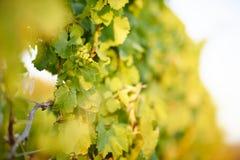 Rijpe druiven in een wijngaard Royalty-vrije Stock Afbeeldingen