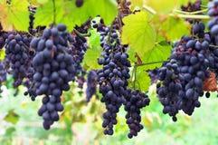 Rijpe druiven Moldavië. Stock Fotografie
