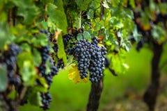 Rijpe druiven vóór oogst, Bordeaux, Frankrijk Stock Fotografie
