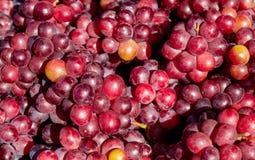 Rijpe druiven van rode verscheidenheid stock afbeelding