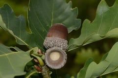 Rijpe eiken eikel op een boomtak stock fotografie