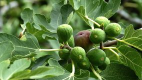Rijpe en groene Gemeenschappelijke fig.vruchten op een vijgeboom stock video
