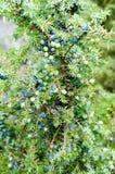 Rijpe en onrijpe communis kegelbessen van Juniperus (gemeenschappelijke junipe royalty-vrije stock afbeelding