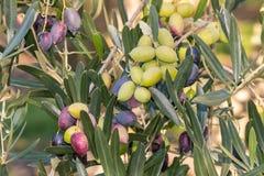 Rijpe en onrijpe Kalamata-olijven op olijfboom Stock Afbeelding