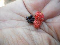 Rijpe en onrijpe vruchten van moerbeiboom stock afbeelding