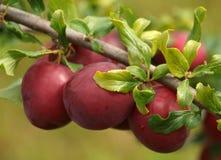 Rijpe en smakelijke pruimen op de boom in de tuin Stock Fotografie