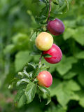 Rijpe en smakelijke pruimen op de boom in de tuin Stock Foto's