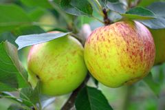 Rijpe Engelse appelen, die op een boom groeien Royalty-vrije Stock Fotografie