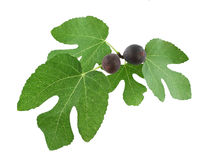 Rijpe fig. op boomtak Stock Foto's