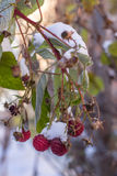 Rijpe framboos met bladeren later in de vroege sneeuw Stock Afbeelding