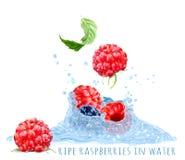 Rijpe frambozen in waterplons Stock Foto's