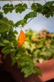 Rijpe fruitmamordiki die de daken van Simena overzien Stock Fotografie