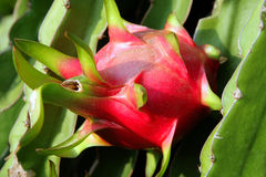 Rijpe fruitpitahaya op een tak Royalty-vrije Stock Foto's