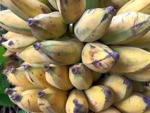 Rijpe gecultiveerde bananen Stock Afbeeldingen