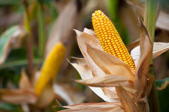 Rijpe gele maïskolf twee van suikermaïs op het gebied Stock Foto