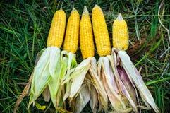 Rijpe gele maïskolf vijf van suikermaïs op het gebied Verzamel graangewas Het oogsten De herfstactiviteiten royalty-vrije stock foto