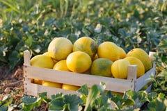 Rijpe gele meloen in houten doos op het gebied bij organisch ecolandbouwbedrijf Stock Afbeeldingen