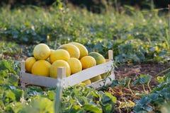 Rijpe gele meloen in houten doos op het gebied bij organisch ecolandbouwbedrijf Royalty-vrije Stock Afbeeldingen