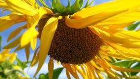 Rijpe gele zonnebloem op het gebied met zaden Royalty-vrije Stock Foto's