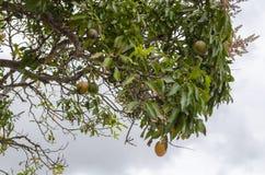 Rijpe Gemeenschappelijke Mango's op Boom royalty-vrije stock fotografie
