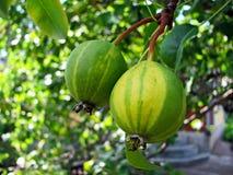 Rijpe gestreepte peren op een tak stock foto
