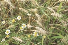 Rijpe graangewassenoren en wilde wildflowers, madeliefjes op hete de zomermiddag op achtergrond van geel gebied, natuurlijke land royalty-vrije stock afbeeldingen