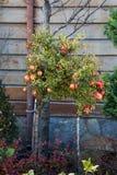 Rijpe granaatappel op de tak van een granaatappelboom Stock Foto's