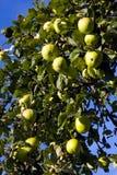 Rijpe groene appelen die in een boom hangen stock foto's