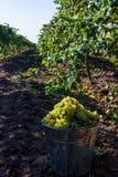Rijpe groene druiven in de herfst stock afbeeldingen