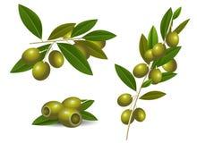 Rijpe groene olijven Stock Fotografie