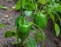 Rijpe Groene paprika in Tuin Stock Afbeelding