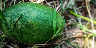 Rijpe grote groene komkommers royalty-vrije stock foto
