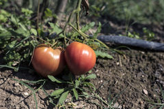 Rijpe grote tomaten Stock Foto's