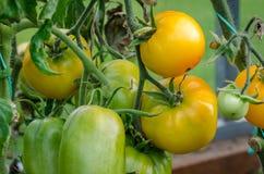 Rijpe grote tomaten, Royalty-vrije Stock Foto's