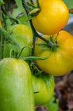 Rijpe grote tomaten, Stock Foto's