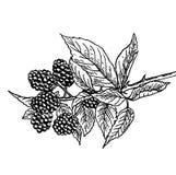Rijpe heerlijke tak van moerbeiboom - schets Stock Afbeelding