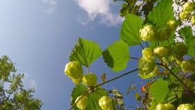 Rijpe hopkegels, kruid voor bier stock footage