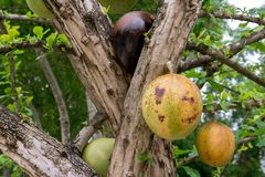 Rijpe Kalebasboomboom in het park, Crescentia cujete stock foto
