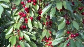 Rijpe kers in de boomgaard stock videobeelden
