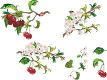 Rijpe kers en bloemen royalty-vrije illustratie